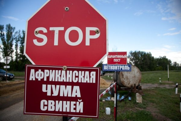 Ukrajnában komoly károkat okozott az afrikai sertéspestis